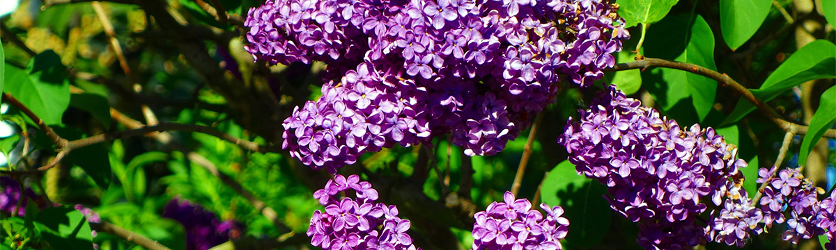 purple-flowers-may-composer